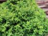 Cypřišek hrachonosný 'Nana' - Chamaecyparis pisifera 'Nana'             - 3/3