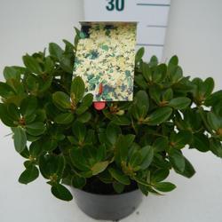 Rododendron 'Shamrock' – Rhododendron 'Shamrock'     - 3