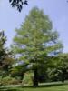 Tisovec dvouřadý - Taxodium distichum            - 3/4