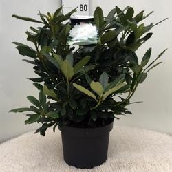 Rododendron (T) 'Madame Masson' - Rhododendron (T) 'Madame Masson' - 3