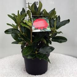 Rododendron 'Markeeta's Prize' – Rhododendron 'Markeeta's Prize'     - 3