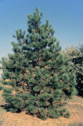 Borovice těžká - Pinus ponderosa                     - 3