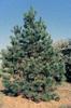 Borovice těžká - Pinus ponderosa                     - 3/3
