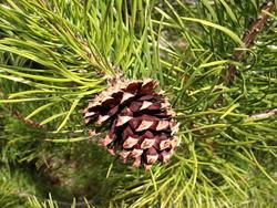 Borovice pokroucená - Pinus contorta        - 3
