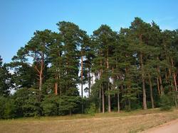 Borovice lesní - Pinus sylvestris                        - 3