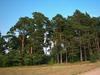 Borovice lesní - Pinus sylvestris                        - 3/3