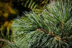 Borovice ohebná 'Vanderwolf´s Pyramid' -Pinus flexilis 'Vanderwolf´s Pyramid' - 3
