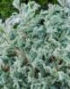 Cypřišek hrachonosný 'Baby Blue' - Chamaecyparis pisifera 'Baby Blue' - 3/3