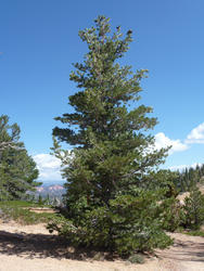 Borovice ohebná - Pinus flexilis             - 3