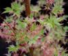 Javor dlanitolistý 'Butterfly'-Acer palmatum 'Butterfly'                 - 3/3