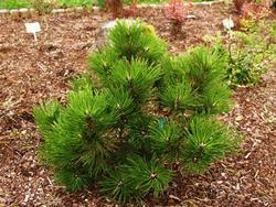 Borovice černá 'Buda' - Pinus nigra 'Buda'            - 3
