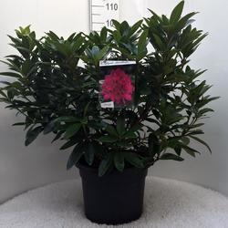 Rododendron (T) 'Anah Kruschke'-Rhododendron (T) 'Anah Kruschke' - 3