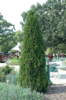 Zerav západní 'Smaragd' - Thuja occidentalis 'Smaragd'        - 3/3