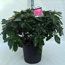 Rododendron (T) 'Germania'  - Rhododendron (T) 'Germania' - 3