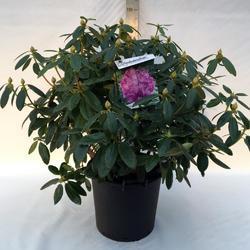 Rododendron (T) 'Catawbiense Grandiflorum'-Rhododendron (T) 'Catawbiense Grandiflorum' - 3