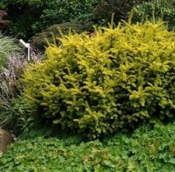 Tis červený 'Summergold' - Taxus baccata 'Summergold'        - 3