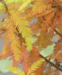 Tisovec dvouřadý - Taxodium distichum            - 4