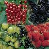 ovocné keře